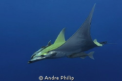 Beauty in the blue - a atlantic mobula on the azores by Andre Philip 